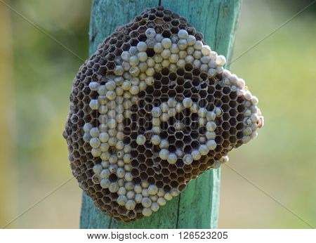 Wasp nest on a green post. Nest of paper, the larvae are in the cells.