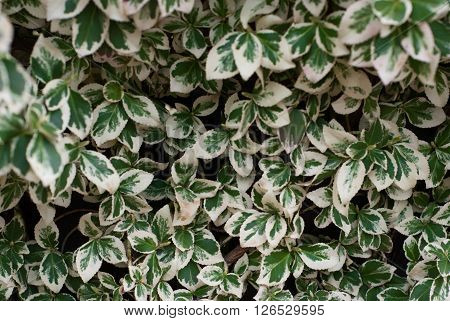 White-green Ivy Background