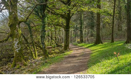 A woodland path amongst a old english woodland