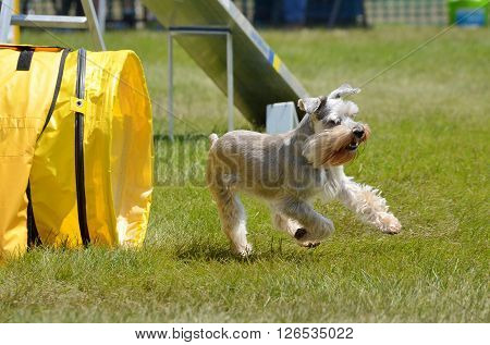 Miniature Schnauzer Leaving Tunnel at a Dog Agility Trial