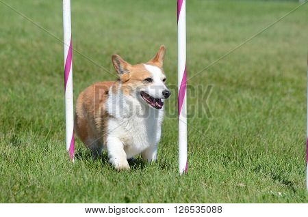 Pembroke Welch Corgi Weaving Through Poles at a Dog Agility Trial