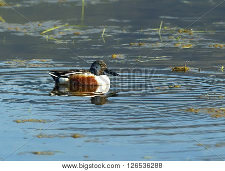 A northern shoveler swims in the marshy water by Hauser Lake Idaho.