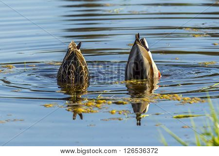 A male and female mallard are upside down in search of food at Hauser Lake Idaho.
