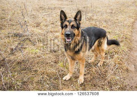 German Shepherd Dog In Beautiful Spring Day