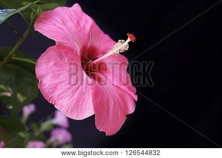 hibiscus sinensis a beautiful pink hibiscus flower