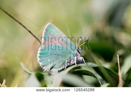 Coastal Green Hairstreak (Callophrys dumetorum) camouflages on a green plant