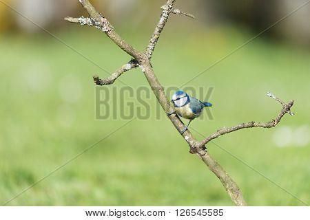 Blue tit on branch in sunshine