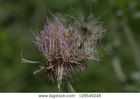 Thistle flower that has gone to seed breaking up and blowing in the wind
