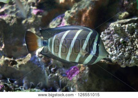 Sailfin tang (Zebrasoma veliferum). Wild life animal.