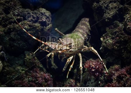 Common spiny lobster (Palinurus elephas), also known as the Mediterranean lobster. Wild life animal.