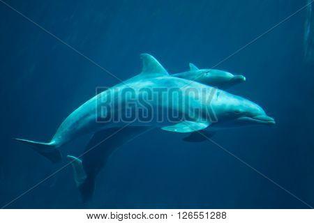 Common bottlenose dolphins (Tursiops truncatus). Wild life animal.