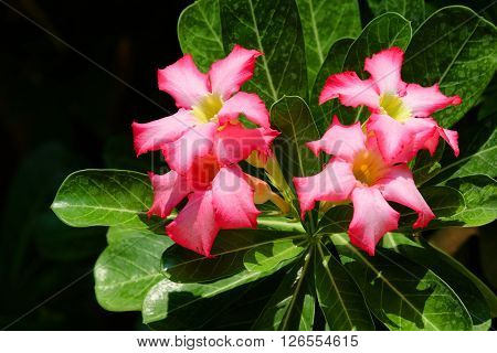 pink mock Azalea in the garden in thailand