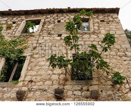 KOTOR, MONTENEGRO - AUGUST 30, 2009: Stone wall of a house in ruins with ivy and a fig tree growing through the windows at Kotor Montenegro