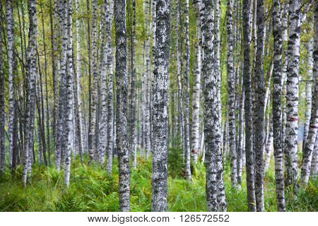slender white birch in a summer forest and green grass