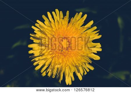 Yellow Dandelion Retro Color