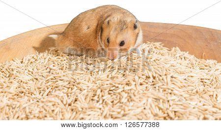 Hamster portrait on heap of grain on white background