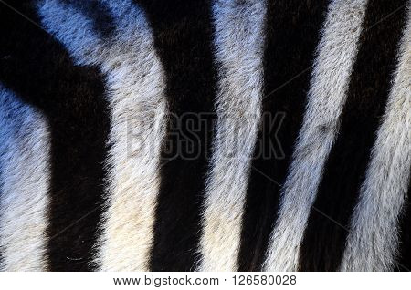 Close up of black and white stripes of a zebra for background or texture ** Note: Soft Focus at 100%, best at smaller sizes