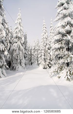 Few trees in the needle forest with small snow covered clearing