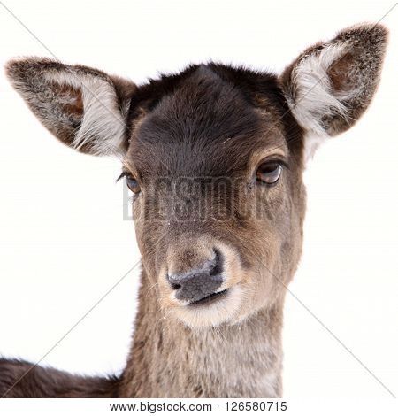 Isolated young Deer head on white background