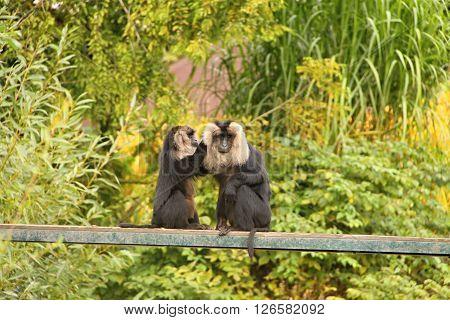 Two black monkeys with lion mane on the narrow bridge