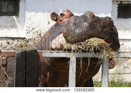 Big head of hippopotamus eating straw behind the gate