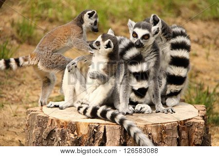 Band of lemurs sitting and playing on the stub