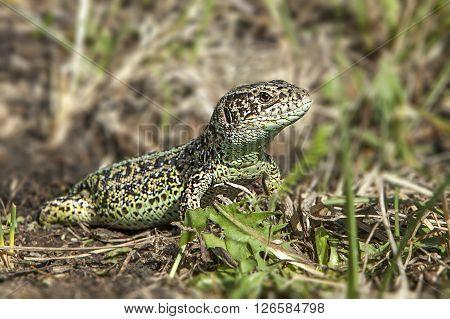 lizard in a field basking in the spring sun