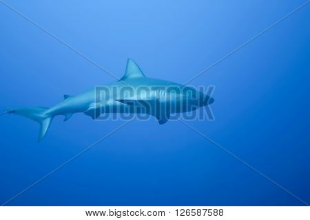 Gray Shark underwater  photo  Cuba Caribbean sea