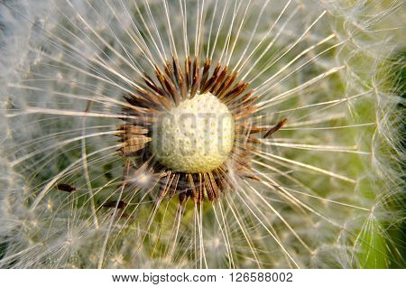 picture of a dandelion flower in spring ** Note: Visible grain at 100%, best at smaller sizes
