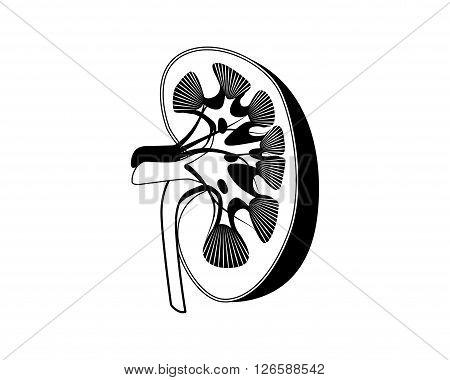 Medicine Kidney anatomy silhouette vector illustration black and white