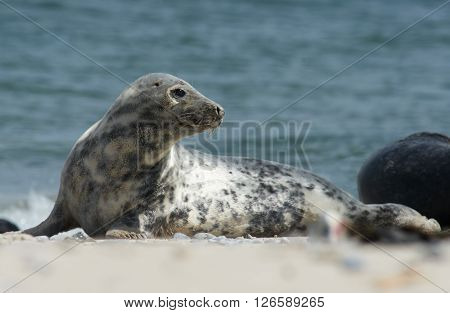 Close up of gray seal (Halichoerus grypus) turning head backwards at the beach at Dune Helgoland Germany