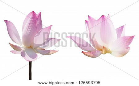 Blooming pink lotus waterlily isolated on white background