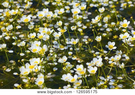 Beautiful Carpet Of Snow-white Water Flowers Cover Waterbody