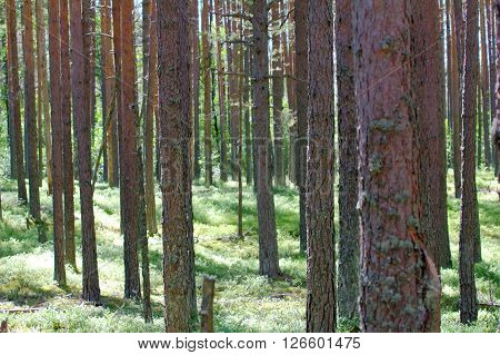 Ancient Pine Forest Brightly Lit By Sun - Life In The Woods By Henry Thoreau