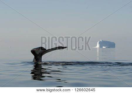 Humpback Whale tail with iceberg on backgrownd