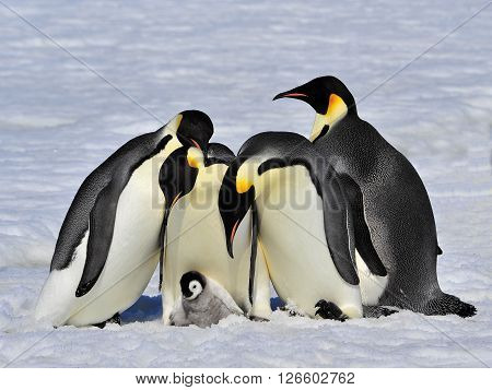 Emperor Penguins with chick fight for adopting