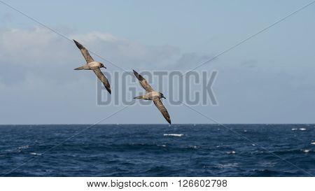 Light-mantled sooty Albatross flying in the Drake Passage