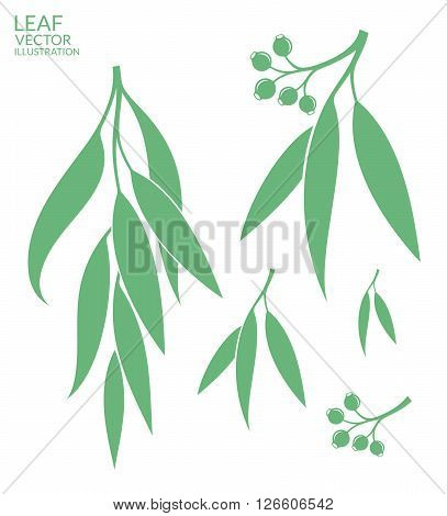 Eucalyptus. Isolated leaves on white background (EPS)