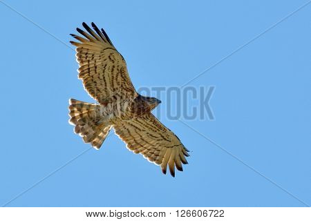 Snake Eagle ( Circaetus gallicus) flying