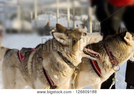 Dogs Sledding With Huskies In A Beautiful Wintry Landscape, Swedish Lapland
