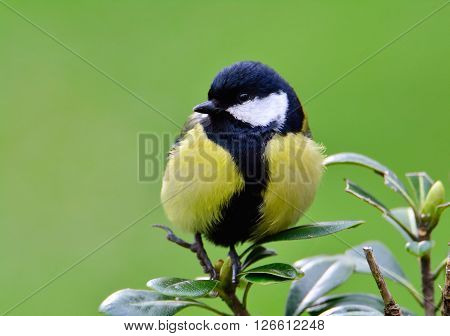 Close-up Of Great Tit Sitting On Green Leaves