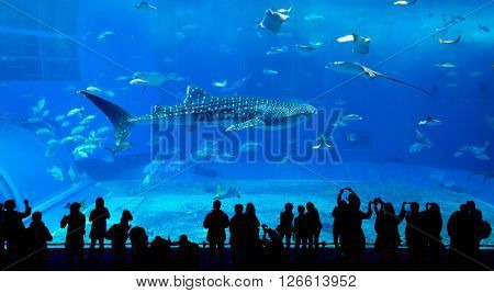 Whale shark in Okinawa Churaumi Aquarium