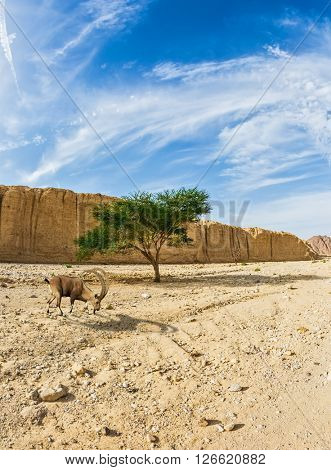 Mountain goat grazing in the dry tree. Hot winter in the desert near the Red Sea in Israel