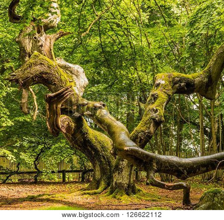 Broken Dwarf Beech in the Enchanted forest