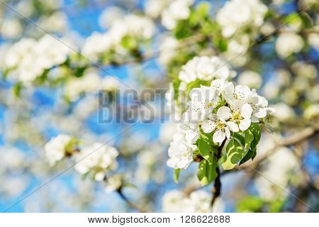 Flowering Branch Of Pear