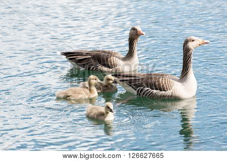 Family Of Gray Goose With 3 Chicken