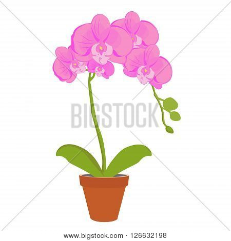 Vector illustration exotic pink orchid flower in a pot. Phalaenopsis orchid blooming in a pot
