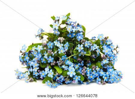 Forget-me-nots flowers isolated on a white background