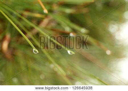 Green pine needles with drops, close up