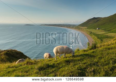 The Gower peninsula South Wales UK Rhossili beach with welsh sheep and overlooking the bay at this popular Welsh holiday destination